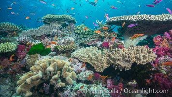 Various stony and soft corals on pristine tropical reef. Table coral competes for space on the coral reef by growing above and spreading over other coral species keeping them from receiving sunlight, Pseudanthias, Namena Marine Reserve, Namena Island, Fiji