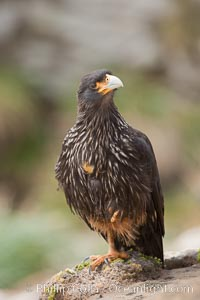 Striated caracara, aka Johnny Rook, a common raptor in the Falkland Islands, Phalcoboenus australis, New Island