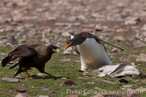 Gentoo penguin defends its dead chick (right), from the striated caracara (left) that has just killed it.  The penguin continued to defend its lifeless chick for hours, in spite of the futulity and inevitabliityof the final result.  Striated caracaras eventually took possession of the dead chick and fed upon it, Phalcoboenus australis, Pygoscelis papua, Steeple Jason Island