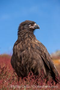 Straited caracara, a bird of prey found throughout the Falkland Islands.  The striated caracara is an opportunistic feeder, often scavenging for carrion but also known to attack weak or injured birds, Phalcoboenus australis, Steeple Jason Island