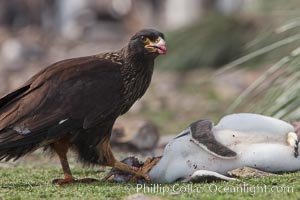 Striated caracara feeds upon a gentoo penguin chick it has just killed, Phalcoboenus australis, Pygoscelis papua, Steeple Jason Island