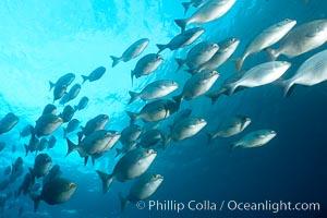 Striped sea chub, schooling. Wolf Island, Galapagos Islands, Ecuador, Kyphosus analogous, natural history stock photograph, photo id 16412