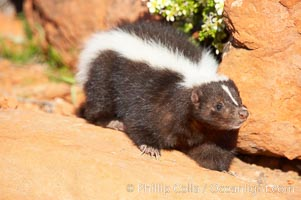 Striped skunk.  The striped skunk prefers somewhat open areas with a mixture of habitats such as woods, grasslands, and agricultural clearings. They are usually never found further than two miles from a water source. They are also often found in suburban areas because of the abundance of buildings that provide them with cover., Mephitis mephitis, natural history stock photograph, photo id 12067