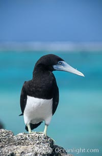 Brown booby, Sula leucogaster, Rose Atoll National Wildlife Sanctuary