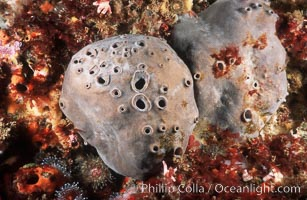 Sulfur sponges on rocky California reef