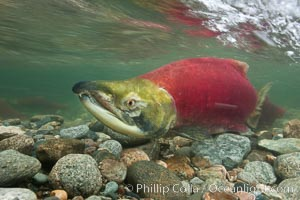 A male sockeye salmon, showing injuries sustained as it migrated hundreds of miles from the ocean up the Fraser River, swims upstream in the Adams River to reach the place where it will fertilize eggs laid by a female in the rocks.  It will die soon after spawning, Oncorhynchus nerka, Roderick Haig-Brown Provincial Park, British Columbia, Canada