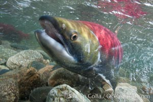 Adams River sockeye salmon.  A female sockeye salmon swims upstream in the Adams River to spawn, having traveled hundreds of miles upstream from the ocean. Adams River, Roderick Haig-Brown Provincial Park, British Columbia, Canada, Oncorhynchus nerka, natural history stock photograph, photo id 26170