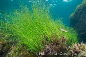 Surf grass, Phyllospadix, underwater. Catalina Island, California, USA, Phyllospadix, natural history stock photograph, photo id 30963