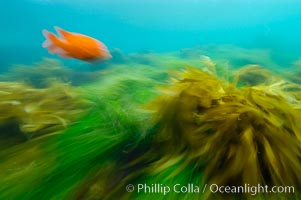 A garibaldi fish (orange), surf grass (green) and palm kelp (brown) on the rocky reef -- all appearing blurred in this time exposure -- are tossed back and forth by powerful ocean waves passing by above.  San Clemente Island, Phyllospadix, Hypsypops rubicundus
