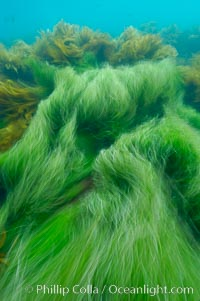 Surf grass on the rocky reef -- appearing blurred in this time exposure -- is tossed back and forth by powerful ocean waves passing by above.  San Clemente Island, Phyllospadix