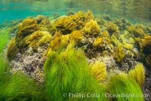 Southern sea palm (yellow) and surf grass (green), shallow water, San Clemente Island. San Clemente Island, California, USA, Eisenia arborea, Phyllospadix, natural history stock photograph, photo id 30958