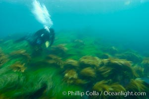 A SCUBA diver exhales a breath of air as he swims over surf grass on the rocky reef.  All appears blurred in this time exposure, as they are moved by powerful ocean waves passing by above.  San Clemente Island, Phyllospadix