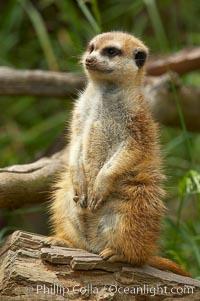Meerkat Natural History