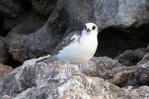 Swallow-tailed gull chick, Creagrus furcata, Wolf Island