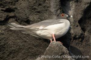Swallow-tailed gull, Creagrus furcata, Wolf Island