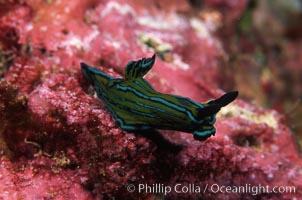 Nudibranch. San Benito Islands (Islas San Benito), Baja California, Mexico, Tambja eliora, natural history stock photograph, photo id 04593