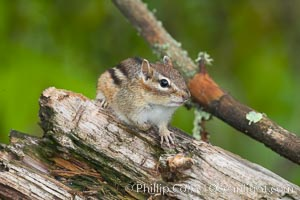 Chipmunk, unidentified species, Tamias, Orr, Minnesota
