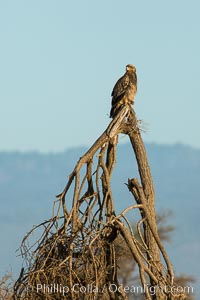 Tawny eagle, Meru National Park, Kenya. Meru National Park, Kenya, Aquila rapax, natural history stock photograph, photo id 29649