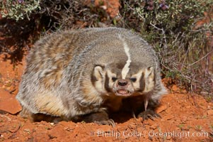 American badger.  Badgers are found primarily in the great plains region of North America. Badgers prefer to live in dry, open grasslands, fields, and pastures., Taxidea taxus, natural history stock photograph, photo id 12050
