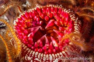 White-spotted rose anemone, Urticina lofotensis, Santa Barbara Island