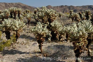 A small forest of Teddy-Bear chollas is found in Joshua Tree National Park. Although this plant carries a lighthearted name, its armorment is most serious, Opuntia bigelovii