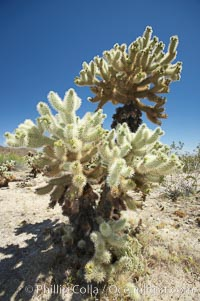 Teddy-Bear cholla cactus. This species is covered with dense spines and pieces easily detach and painfully attach to the skin of distracted passers-by, Opuntia bigelovii, Joshua Tree National Park, California