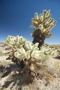 Teddy-Bear cholla cactus. This species is covered with dense spines and pieces easily detach and painfully attach to the skin of distracted passers-by. Joshua Tree National Park, California, USA, Opuntia bigelovii, natural history stock photograph, photo id 11984