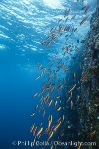 Rainbow wrasse, schooling over reef., Thalassoma lucasanum, natural history stock photograph, photo id 05103