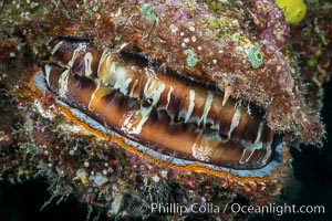 Thorny Oyster, Spondylus varians, Fiji, Makogai Island, Lomaiviti Archipelago