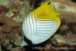 Threadfin butterflyfish, Chaetodon auriga
