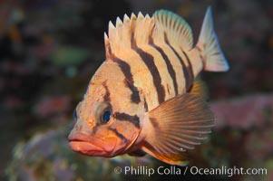Tiger rockfish (juvenile), Sebastes nigrocinctus