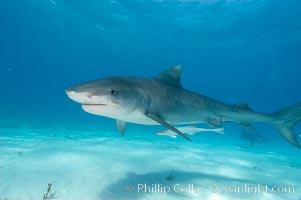 Tiger shark and live sharksucker (remora), Galeocerdo cuvier, Echeneis naucrates