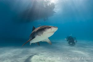 Tiger shark. Bahamas, Galeocerdo cuvier, natural history stock photograph, photo id 10655