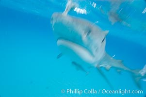 Tiger shark bumps the camera, photographed with a polecam (a camera on a long pole triggered from above the water, used by photographers who are too afraid to get in the water), Galeocerdo cuvier