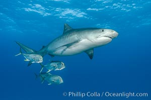 Tiger shark and horse-eye jacks, Galeocerdo cuvier