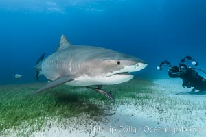 Tiger shark and underwater photographer, Galeocerdo cuvier