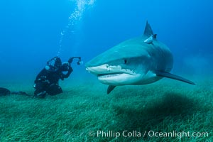 Tiger shark and underwater photographer. Bahamas, Galeocerdo cuvier, natural history stock photograph, photo id 31920