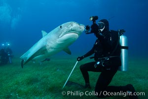 Image 31942, Tiger shark and underwater photographer. Bahamas, Galeocerdo cuvier