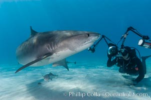 Tiger shark and photographer Keith Grundy. Bahamas, Galeocerdo cuvier, natural history stock photograph, photo id 10649