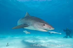 Tiger shark and photographer Ken Howard. Bahamas, Galeocerdo cuvier, natural history stock photograph, photo id 10653