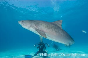 Tiger shark and photographer Jim Abernethy, Galeocerdo cuvier