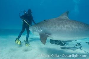 Diver fends off a large tiger shark with a small shark stick, Galeocerdo cuvier