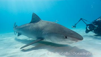 Tiger shark and photographer Keith Grundy. Bahamas, Galeocerdo cuvier, natural history stock photograph, photo id 10681