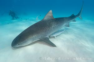 Tiger shark and photographer Ken Howard, Galeocerdo cuvier
