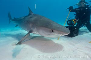 Tiger shark investigates box of bait tended by a diver, Galeocerdo cuvier