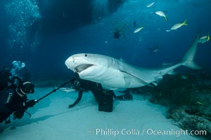 Photographing down the throat of a tiger shark with a Gopro on a selfie-stick. Bahamas, Galeocerdo cuvier, natural history stock photograph, photo id 31879