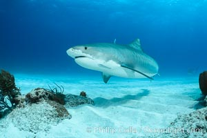 Tiger shark. Bahamas, Galeocerdo cuvier, natural history stock photograph, photo id 31885