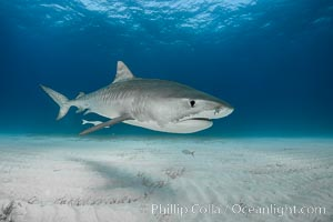 Tiger shark. Bahamas, Galeocerdo cuvier, natural history stock photograph, photo id 31886