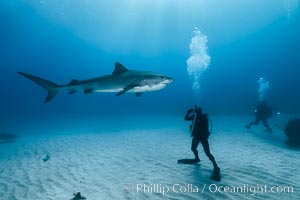 Tiger shark. Bahamas, Galeocerdo cuvier, natural history stock photograph, photo id 31894