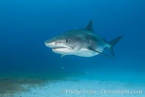 Pregnant tiger shark, gravid tiger shark, Galeocerdo cuvier